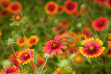 Gaillardia Blanketflower Grouping