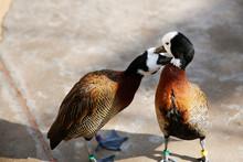 Love Birds Ducks. Loving Animal Couple. Pair Of White-faced Whistling Ducks (Dendrocygna Viduata)