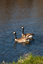 Swimming Geese Family
