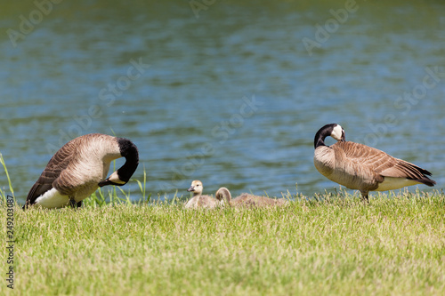Fotografering  Goose Family by a Pond