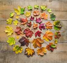 High Angle View Of Various Colorful Maple Leaves On Wooden Table During Autumn