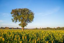 Drzewo W Polu Wśród Kwiatów łubinu