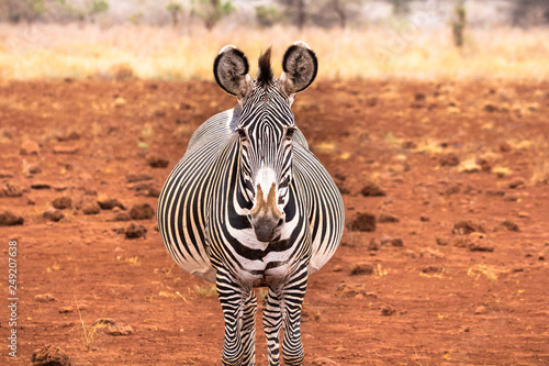 Poster Zebra Pregnant grevy's zebra facing forward looking directly at camera.