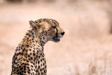 African Cheetah Profile Close-up With Dessert Background.