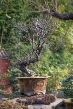 Red Plum Bonsai Tree In WangJi...
