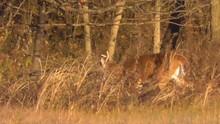 Small Buck Walking In A Field
