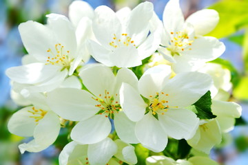 Fototapeta Drzewa Bright white Apple flowers in spring. Close up