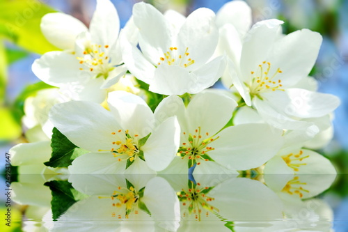 Fotografia  Bright white Apple flowers in spring reflected in the water ripples on a blurred green blue background
