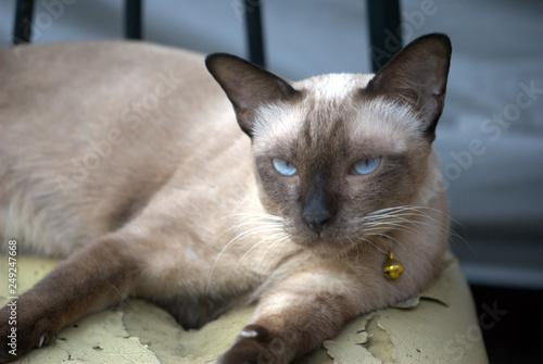 Siamese cat posing for photos taking