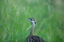 Black Bellied Bustard Looking Into The Camera