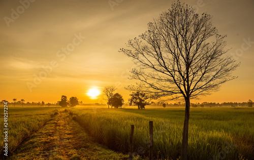Foto auf Leinwand Honig Rice fields at sunrise