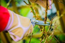 Spring Pruning Roses