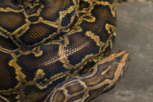 Burmese Python,Python Bivittatus