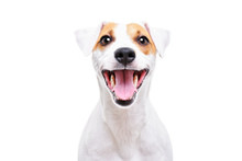 Portrait Of A Funny Dog Jack Russell Terrier, Closeup, Isolated On White Background