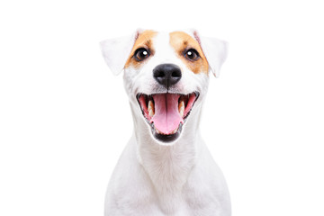 Fototapeta Pies Portrait of a funny dog Jack Russell Terrier, closeup, isolated on white background