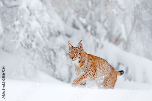 Poster Lynx Eurasian Lynx walking, wild cat in the forest with snow. Wildlife scene from winter nature. Cute big cat in habitat, cold condition. Snowy forest with beautiful animal wild lynx, Germany.