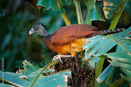 Fotografija  Big bird Great curassow, Crax rubra, in the nature forest habitat, animal sitting on the palm leave in green vegetation