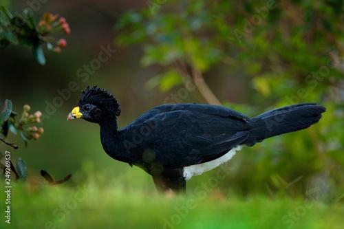 Fotografija  Great Curassow, Crax rubra, big black bird with yellow bill in the nature habitat, Costa Rica
