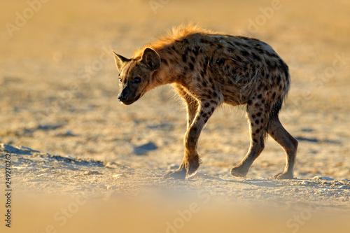 Fototapeta Spotted hyena, Crocuta crocuta, angry animal near the water hole, beautiful evening sunset