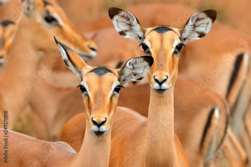 impalas in the grass with evening sun, Ihidden portrait in vegetation Fototapeta