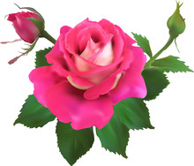 Pink Rose Flower With Two Small Buds On White