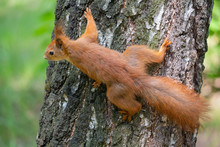 Red Squirrel On A Tree In A Park. Animal