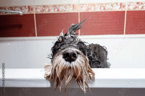 Tableau sur Toile black dog schnauzer  in bathroom take shower