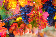 Blue Grapes Close-up With Water Drops And Color Autumn Leaves, Natural Agricultural Sunny Background Of Vineyard For Winemaking