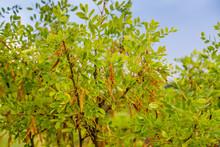 Caragana Pods Of Treelike Or Yellow Acacia (Caragana Arborescens)