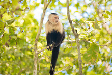 White Faced Capuchin Monkey In...