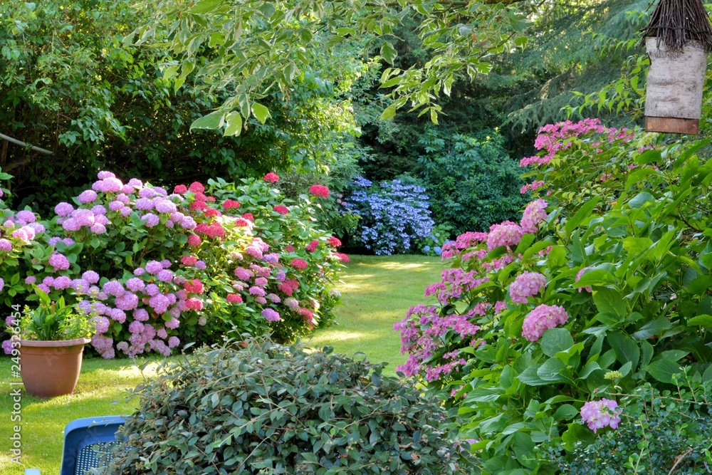 Fototapety, obrazy: Beautiful garden with hydrangeas in Brittany