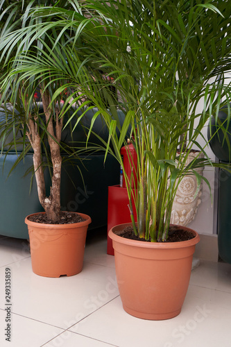 Big and beautiful palm tree chamaedorea and areca grows in a brown pot indoors Wallpaper Mural