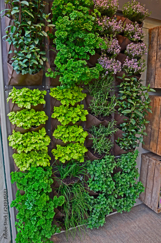 A vertical herb garden in a small urban garden space with range of herb vaieties