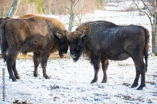 Fényképezés  Buffalo standing on snow covered ground
