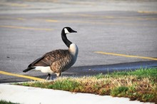 Canada Goose By Parking Lot
