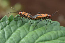 Close Up Of Insects Mating On Leaf