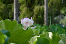 Pink Lotus Flower Stock Images. Beautiful Water Lily. Jardin Pamplemousse Maurice. Tourist Attraction In Mauritius