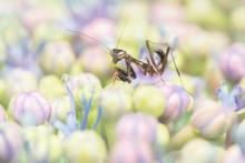 Close Up Of Praying Mantis Nym...