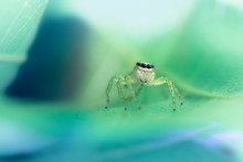 Close Up Of Jumping Spider On ...