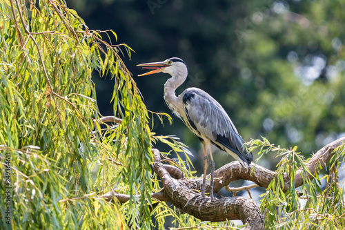 Grey heron with open beak on the thick willow branch Canvas Print