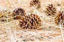 Pine Cones On Ground Pine Needles