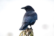 Crow Perched On A Wooden Post, British Columbia, Canada