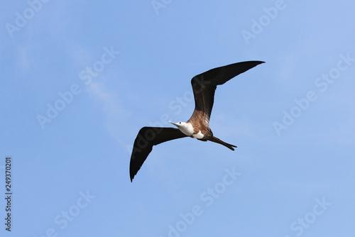 Fotografie, Obraz  Female Magnificent Frigate bird in Flight, Central America