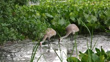 Sandhill Cranes Feeding In Mar...
