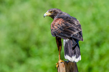 Golden Eagle Sitting On A Wooden Post, British Columbia, Canada