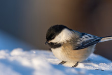 Black-capped Chickadee (oecile Atricapillus) In Snow Filled Winter Landscape