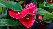 Several Heart-shaped Flowers Of Red Anthurium.