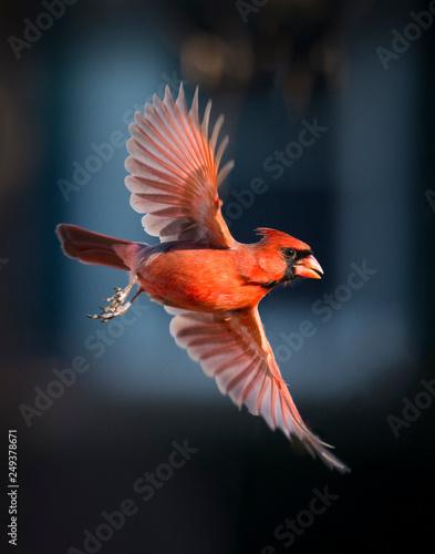 Papel de parede Cardinal in Flight