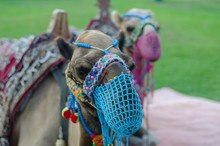 A Pair Of Camels With A Net On...