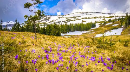 Obraz Spring mountains panorama with crocus flowers and snowy peaks of Ukrainian Carpathians. - fototapety do salonu